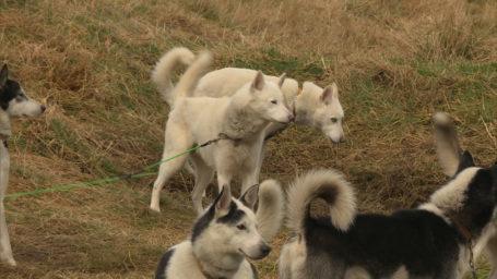 Huskies in the Cairngorms