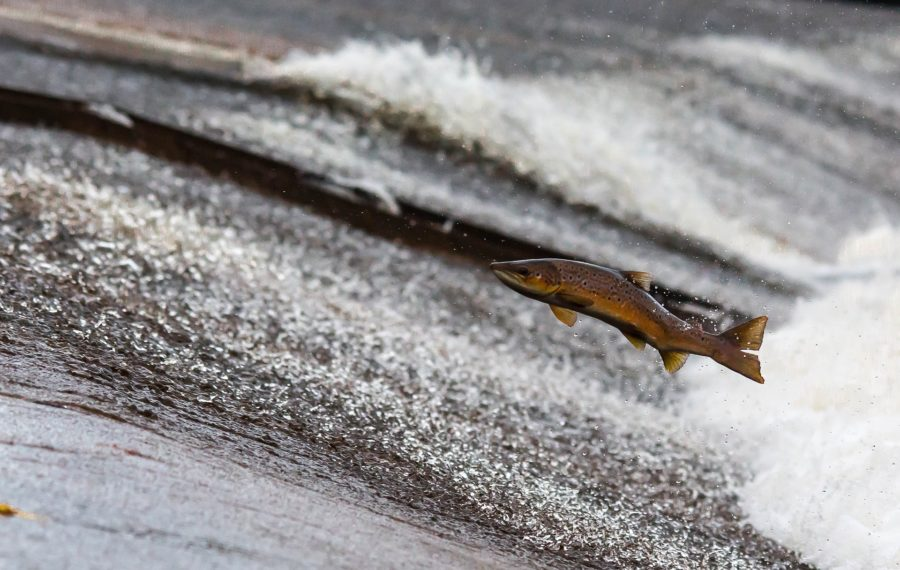 Salmon: The species is approaching'crisis point'.