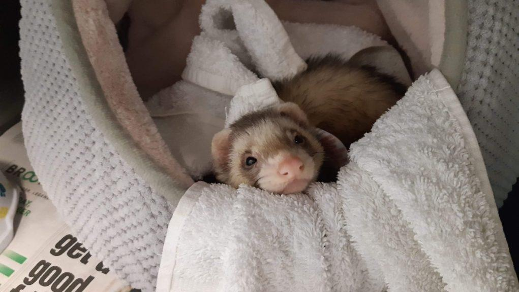 Abandoned: The ferret was left on a pet shop counter.