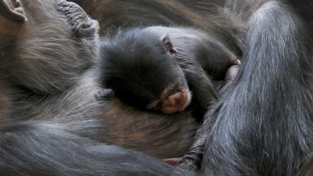 Chimpanzee: The baby girl is an endangered Western chimp.