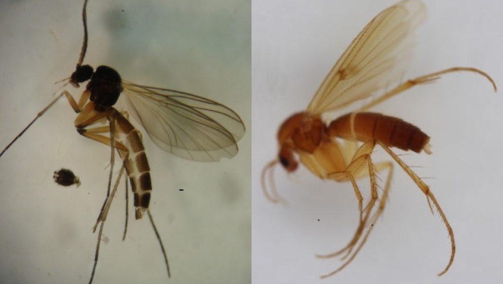 Discovery: Boletina gusakovaeis and mycetophila idonea.