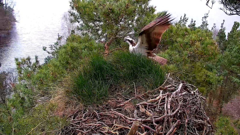 Flying in: The first osprey of the season has arrived at a Scots nesting site.