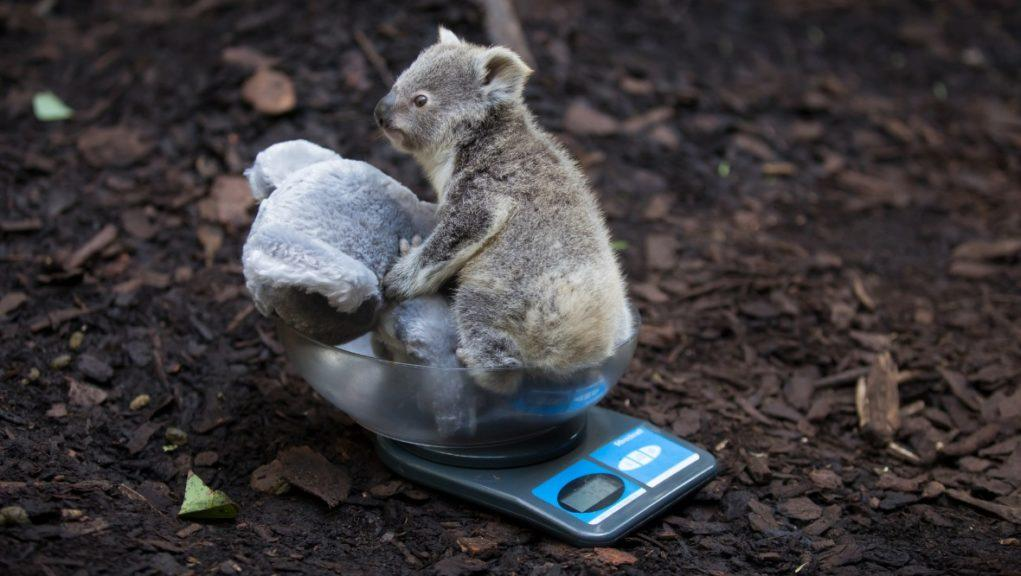 The UK's only koala joey has had her first health check at the Royal Zoological Society of Scotland's (RZSS) Edinburgh Zoo.