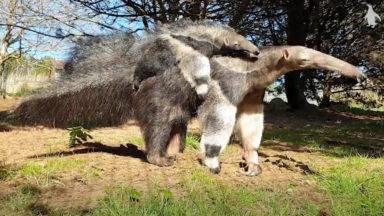 Keepers at the Edinburgh Zoo have named a four-month-old anteater pup.