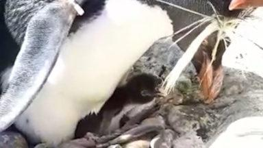 Penguin chicks have hatched at Edinburgh Zoo.