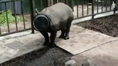A rhino is spotted walking around with a bucket on its head.