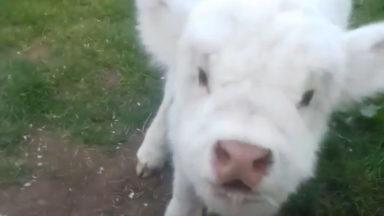 A highland calf surprises owners with her first Moo.