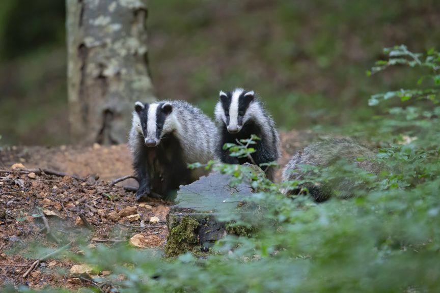 Wildlife: The Scottish Greens are also calling for landowners to be made responsible for damage to badger setts.