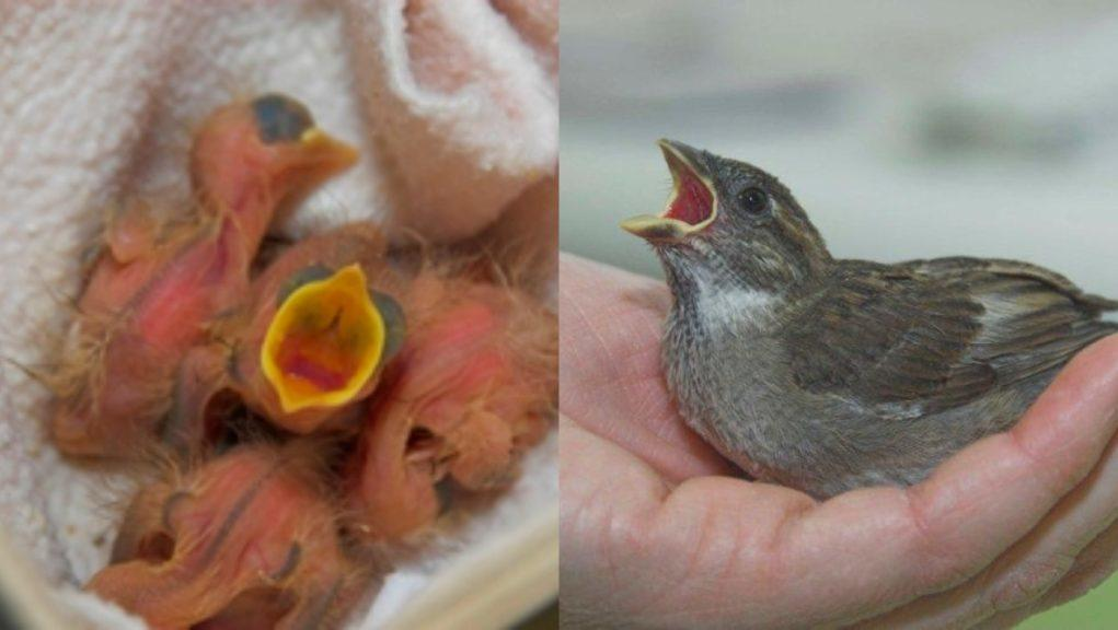 Birds: Nestlings are shown on the left, while on the right is a fledgling.