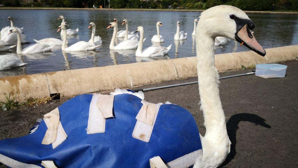 Rescue: Swan's beak freed from plastic bottle top ring.
