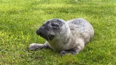 A premature seal pup begins to moult.