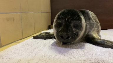 A lonely seal pup was rescued on Spiggie beach