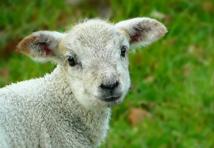 App-y animals: Farmers use smartphones to keep track of livestock emotions.