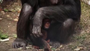 A little chimpanzee enjoys a cuddle at Edinburgh Zoo.