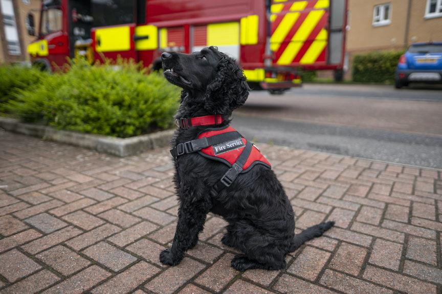Phoenix: Spaniel with a talent for investigating fires.