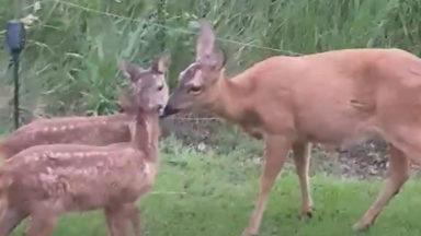 A deer and her fawns play and roam in garden in Greenock.