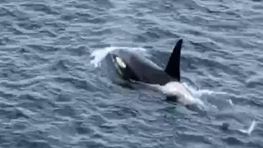 A man films a pod of orcas swimming near the coast.