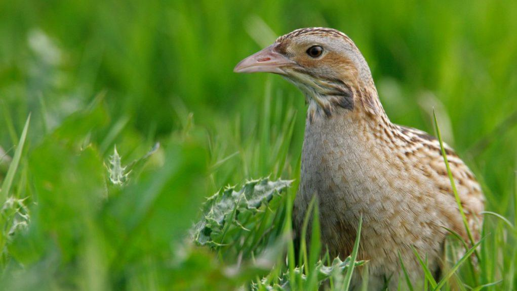 Corncrake: The birds are now red-listed, which is the highest level of conservation concern.
