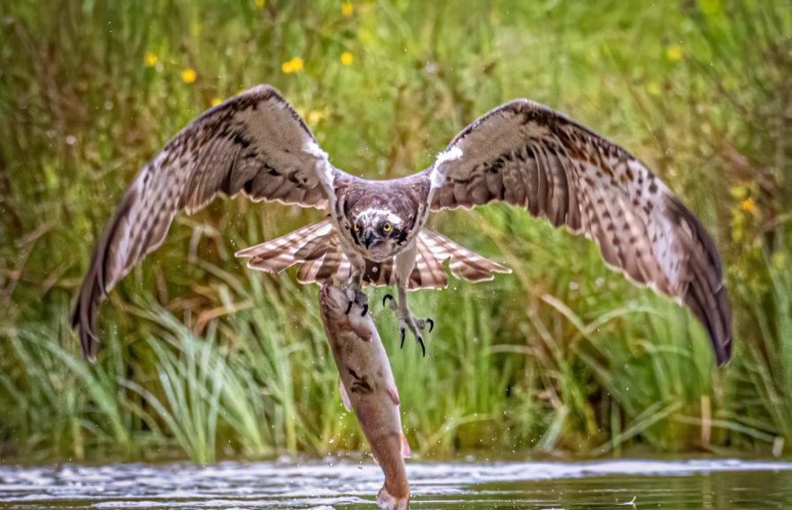 Ambitious: An osprey plucks a huge trout from a lake in Aviemore.