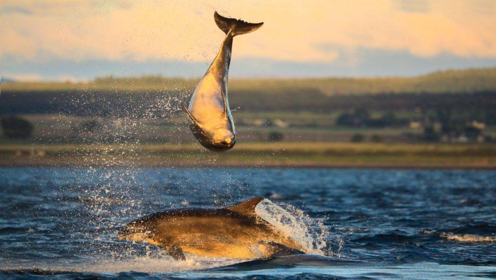 Making a splash: The dolphins put on a show for photographer. SWNS