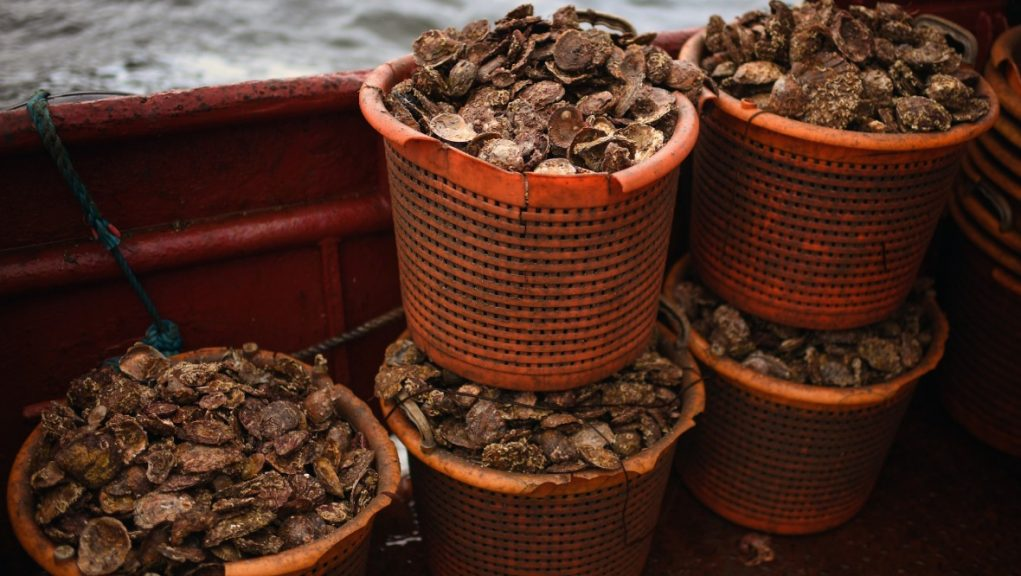 Project: Scheme involves creating and installing oyster nurseries.
