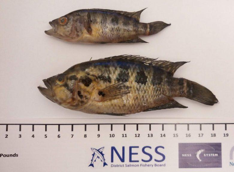 Fish: Found in River Ness. (The Ness District Salmon Fishery Board)