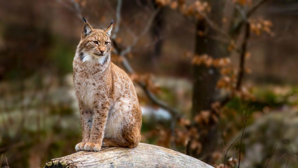 Proposals: Lynx UK Trust wants the wildcat back in Scotland.