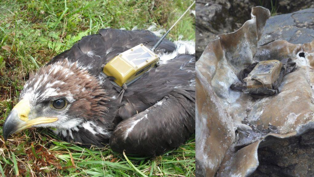 Missing: The golden eagle is feared dead after its tag was found wrapped in lead.