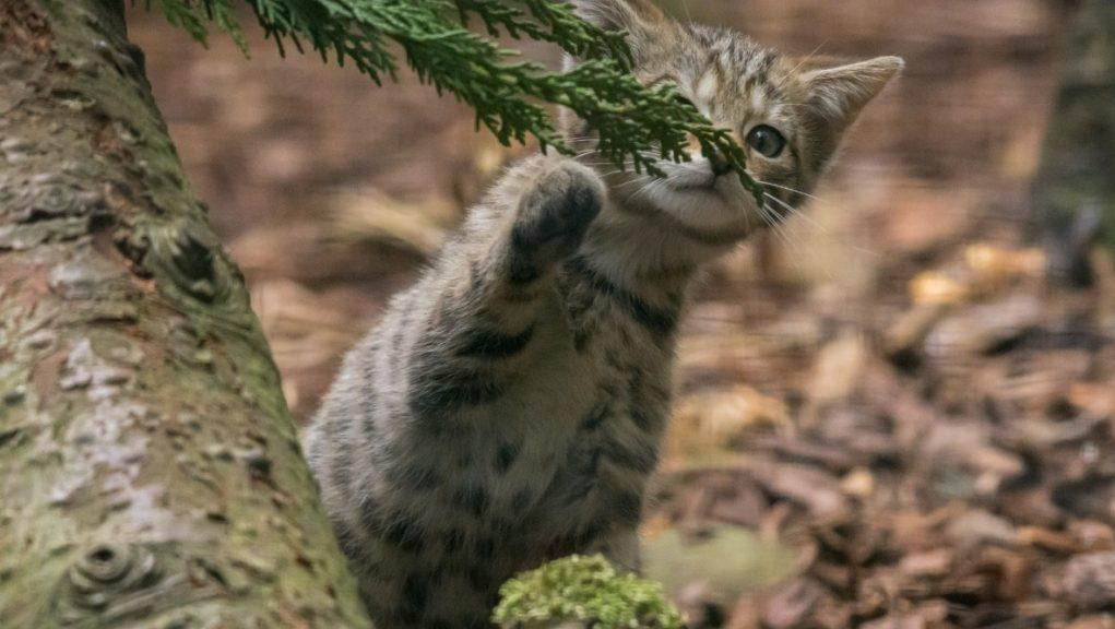 Endangered species: WIldcat kittens born at park near Aviemore.