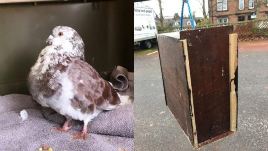 The pigeon had been left inside a homemade wooden box.