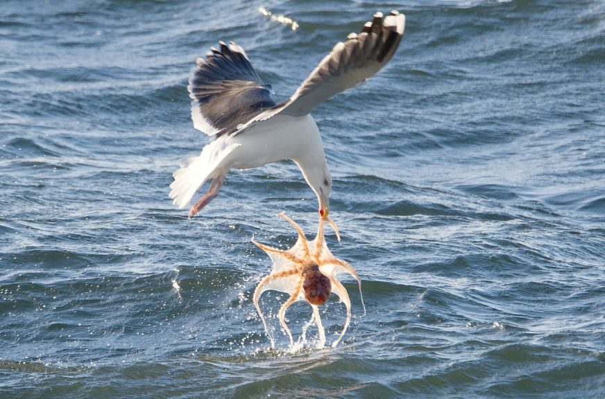 Seagull snatched octopus out of the sea.