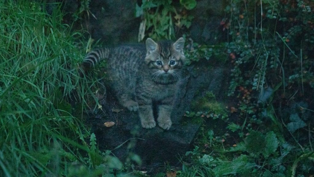Purrfect: It has been a record breeding year for wildcats.