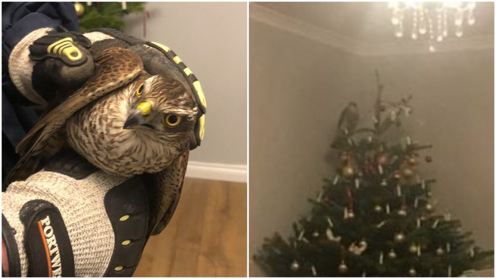 Sparrowhawk: Bird of prey discovered amongst Christmas decorations.