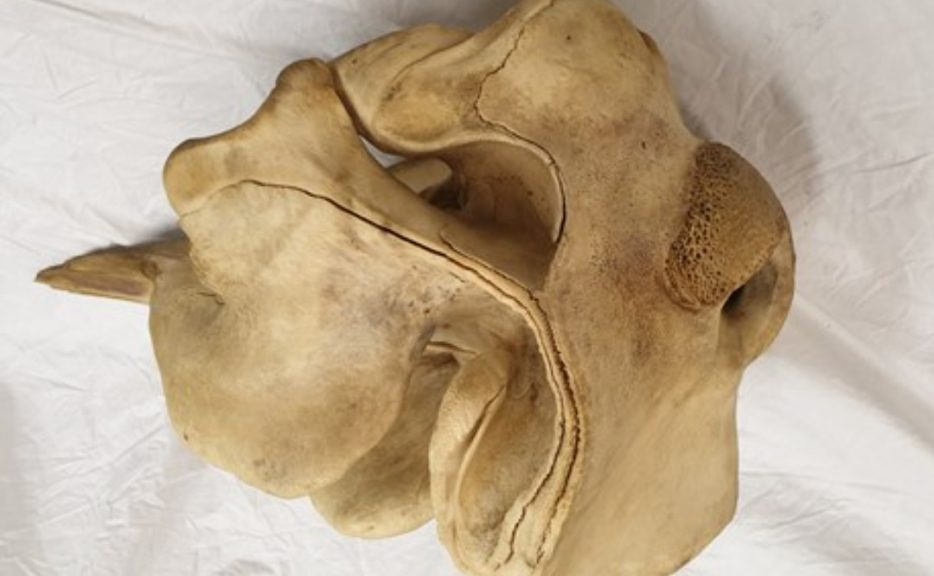 Police are appealing for help after whale skull taken from beach.