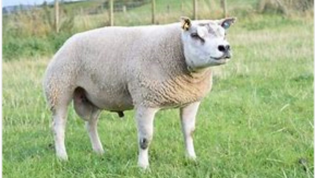 Missing: Beltex sheep missing from Highland farm.