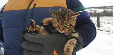 The Scottish Wildcat kitten.