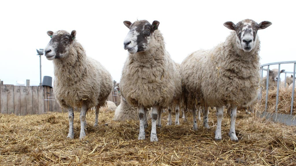Officers are appealing for the public to report anyone or anything suspicious seen around the time the sheep were stolen.