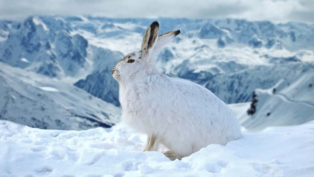 New mountain hare regulations come into effect on Monday.