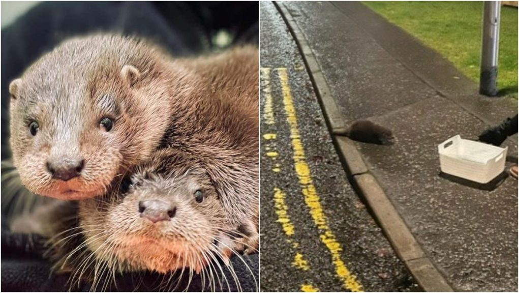 Pair of orphaned otter cubs spotted wandering the streets.