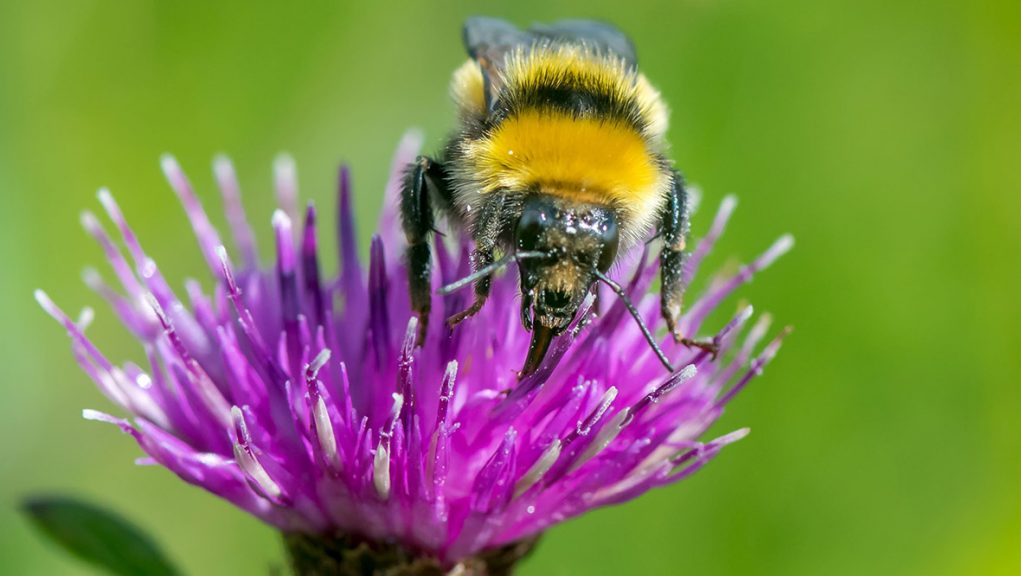 The Great Yellow bumblebee was spotted near John O'Groats.