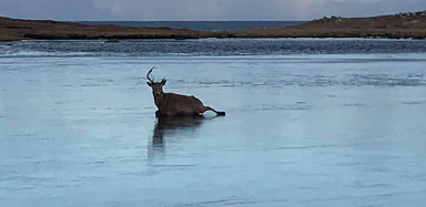 A stag was found caught in ice on a Loch.