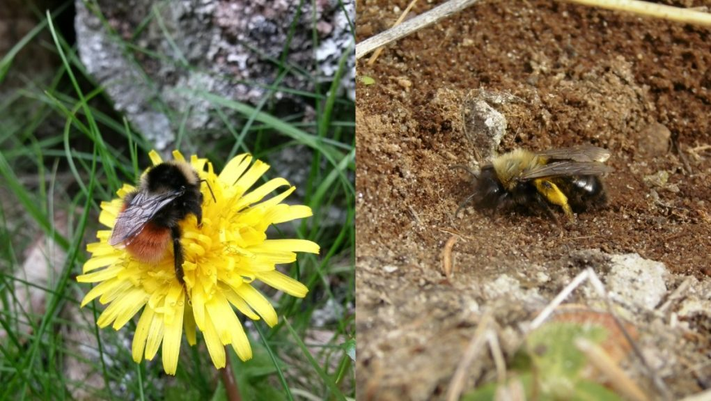 Bees: Discovered in Ben Lawers for first time.