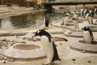 Gentoo penguins build nests at the start of breeding season.