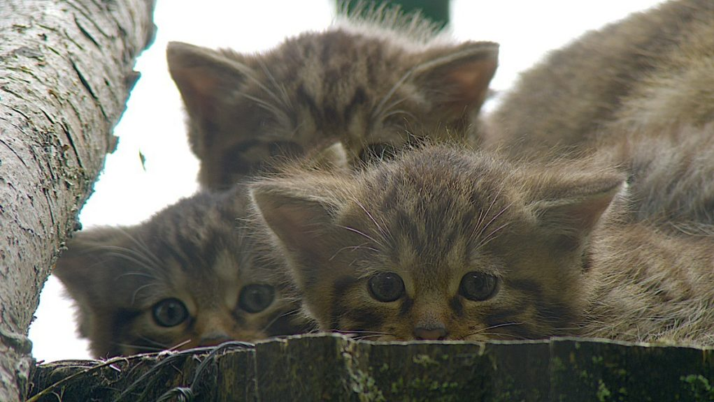 Saving Wildcats: The project is led by the Royal Zoological Society of Scotland.