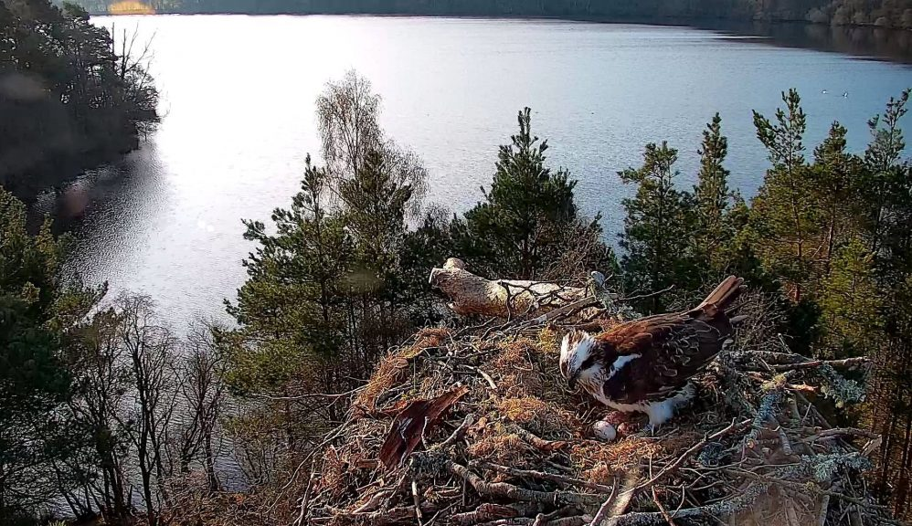 A female osprey has laid her third egg of the season.