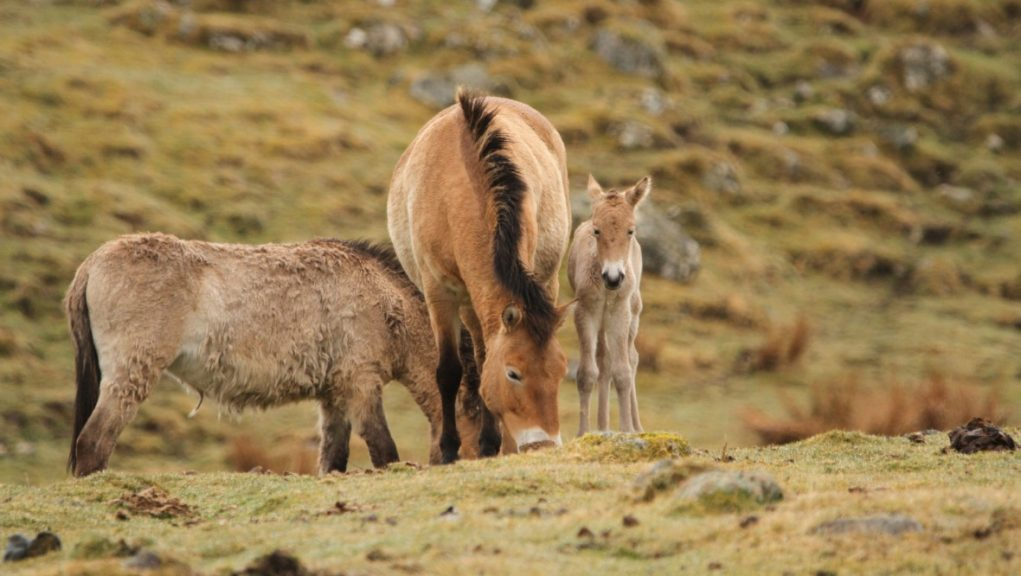 Foals: Endangered horse foals born at Highland Wildlife Park.