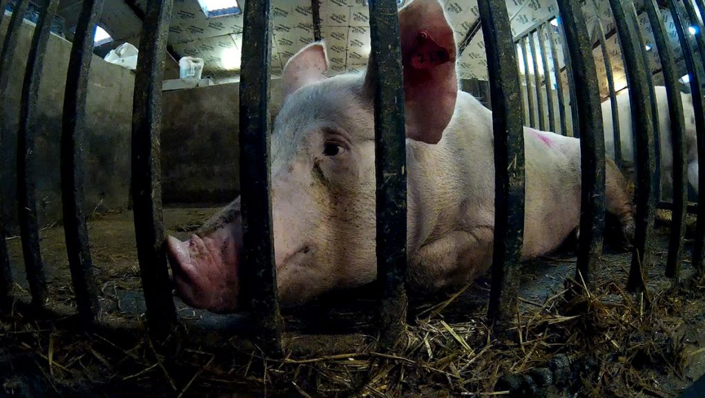 Pigs were subject to serious animal welfare violations in Aberdeenshire.
