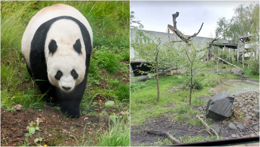 Keepers are hoping Tian Tian gives birth later this year.