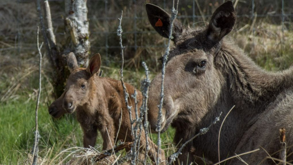 Highland Wildlife Park: The calves, born to mum Cas and dad Raven, are said to be doing well.