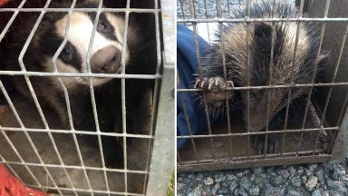 Orphaned badgers are rescued ten days after their mum was killed.